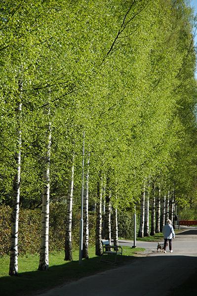新緑の白樺 フィンランドの森から